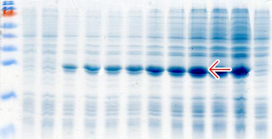Провели оптимизацию гена для увеличения экспрессии рекомбинантного белка в клетках E. coli. Увеличение составило 800%.  - пример 1
