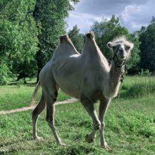 В рамках проекта по получению VHH антител наработаны, очищены и протестированы полученные наноантитела верблюда к целевым белкам